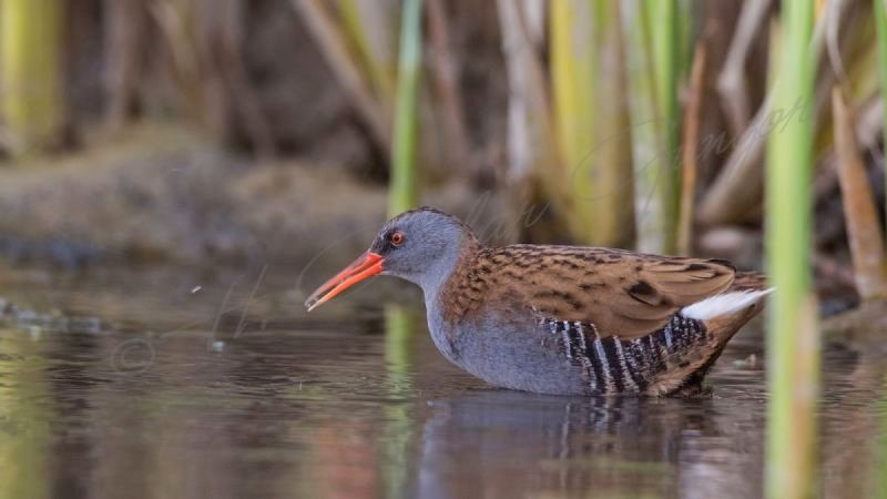 Water Rail in Pond