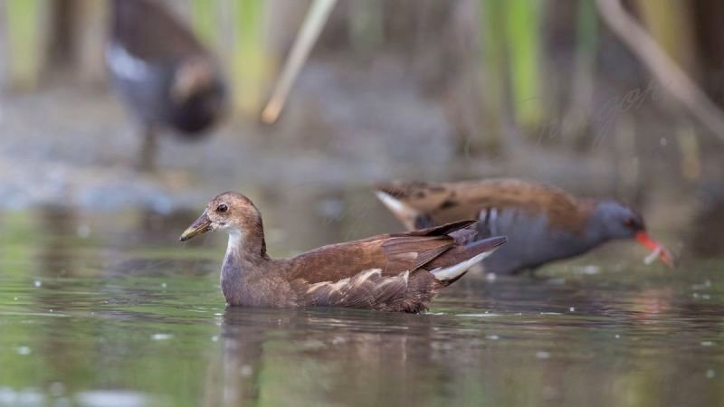 Female Common Moorhen and Water Rail