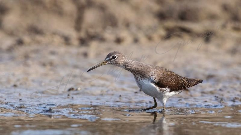Green Sandpiper in Swamp Stretching His Neck