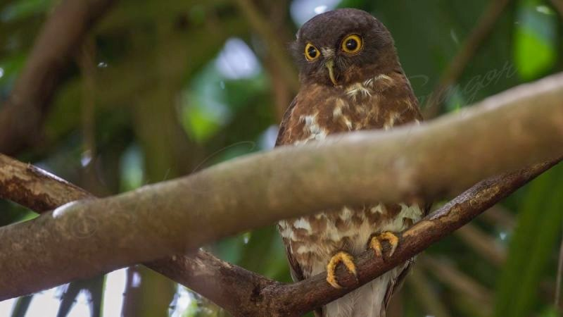 Brown hawk-owl - Ninox scutulata
