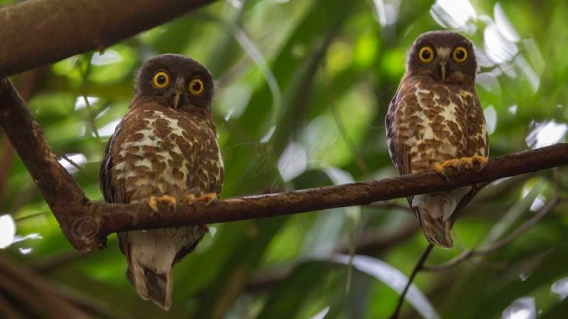 Brown hawk-owl - Ninox scutulata