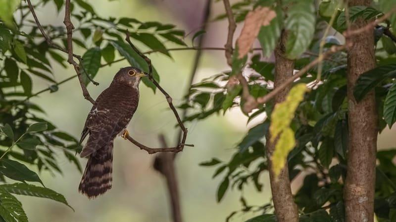 Hodgson's hawk-cuckoo - Hierococcyx nisicolor