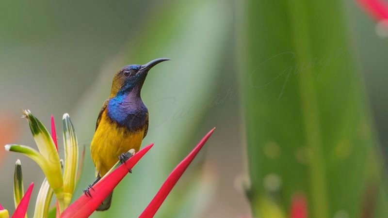 Olive-backed sunbird - Cinnyris jugularis