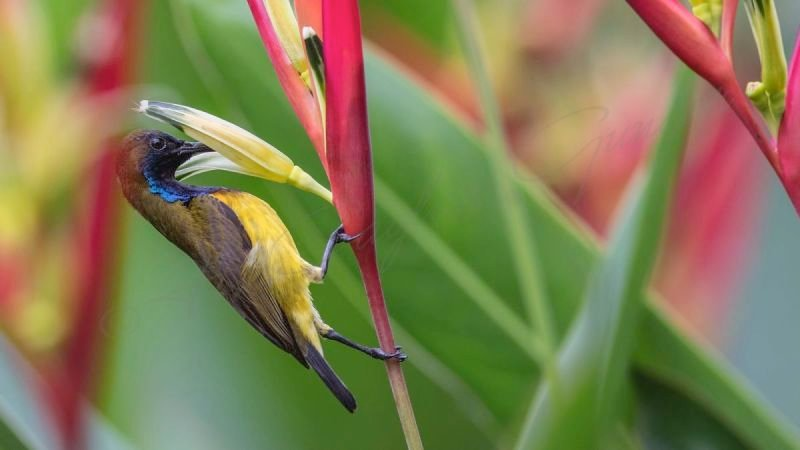 Olive-backed sunbird - Cinnyris jugularis