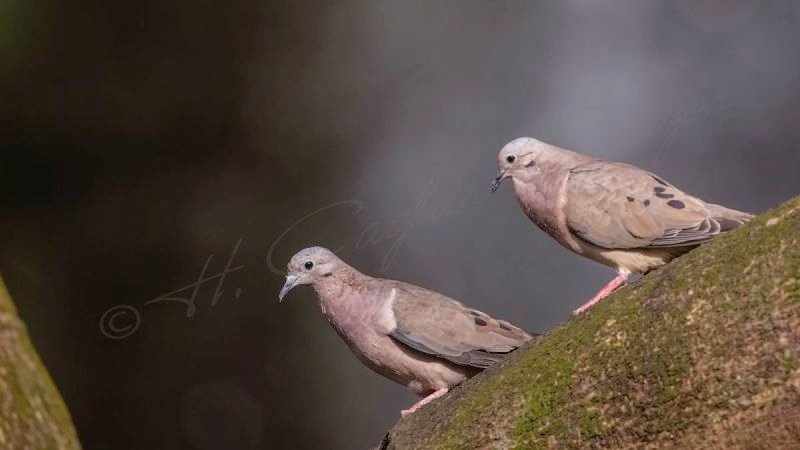 Red collared dove - Streptopelia tranquebarica