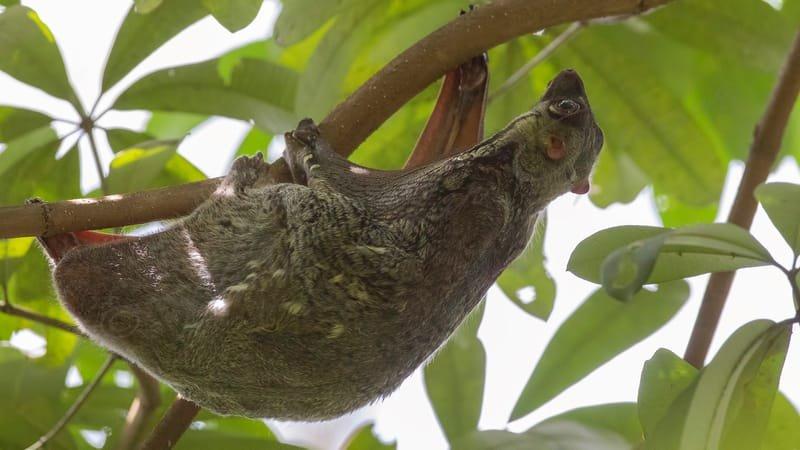 Sunda Flying Lemur or Sunda Colugo - Galeopterus variegatus