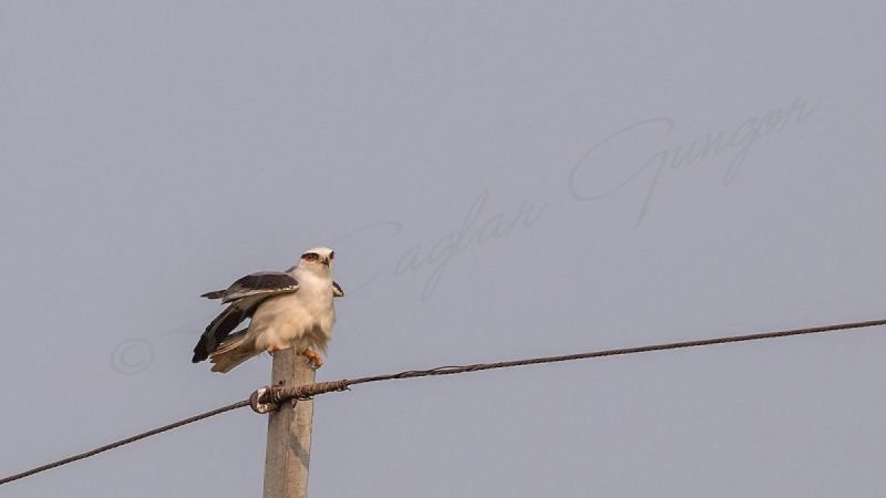 Black-shouldered kite - Elanus caeruleus