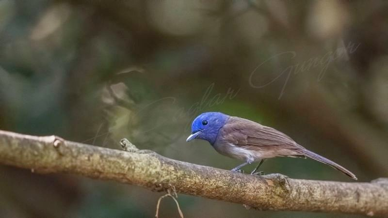 Black-naped monarch - Hypothymis azurea