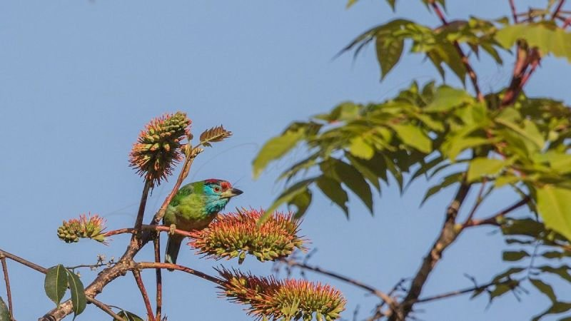 Blue-throated barbet - Megalaima asiatica