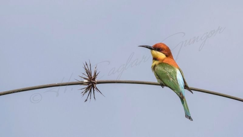 Chestnut-headed bee-eater - Merops leschenaulty