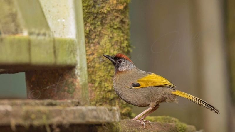 Chestnut-crowned laughingthrush - Garrulax erythrocephalus