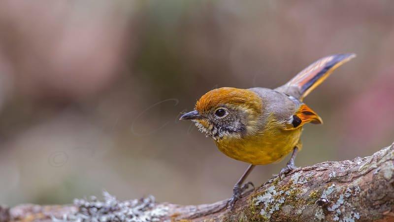 Chestnut-tailed minla - Minla strigula