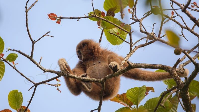 Lar gibbon, white-handed gibbon - Hylobatidae