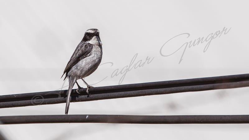 Gray Bushchat - Saxicola ferreus