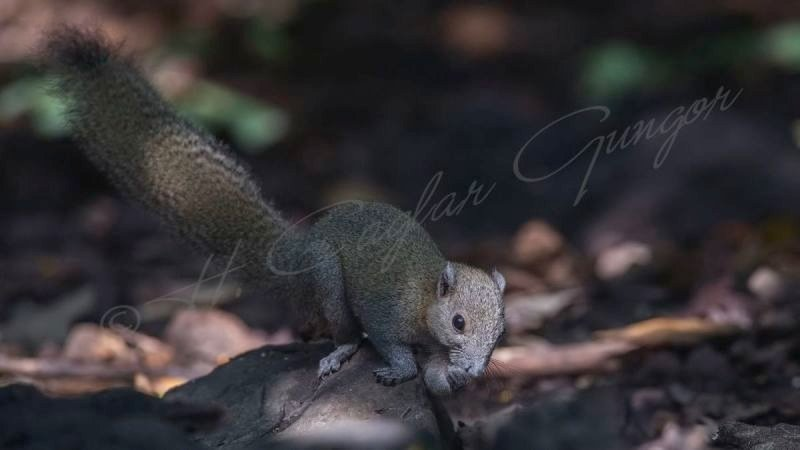 Grey-bellied Squirrel - Callosciurus caniceps caniceps
