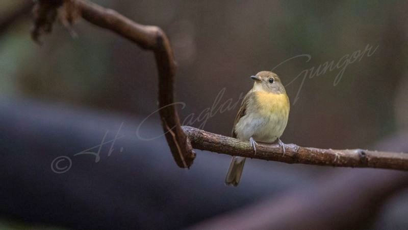 Hill blue flycatcher - Cyornis banyumas