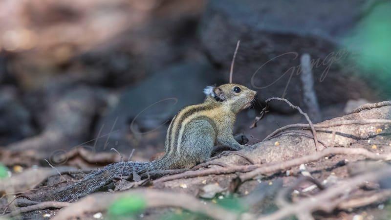Himalayan striped squirrel - Tamiops macclellandi