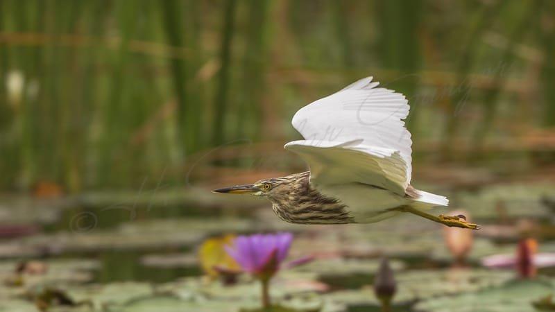 Javan pond heron - Ardeola speciosa