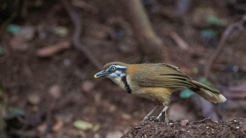 Lesser necklaced laughingthrush - Garrulax monileger