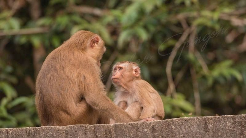 Macaque - Macaca