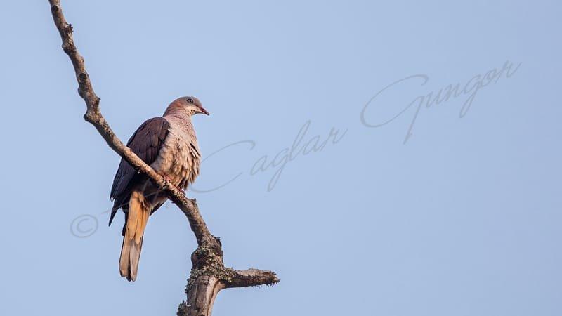 Mountain imperial pigeon - Ducula badia