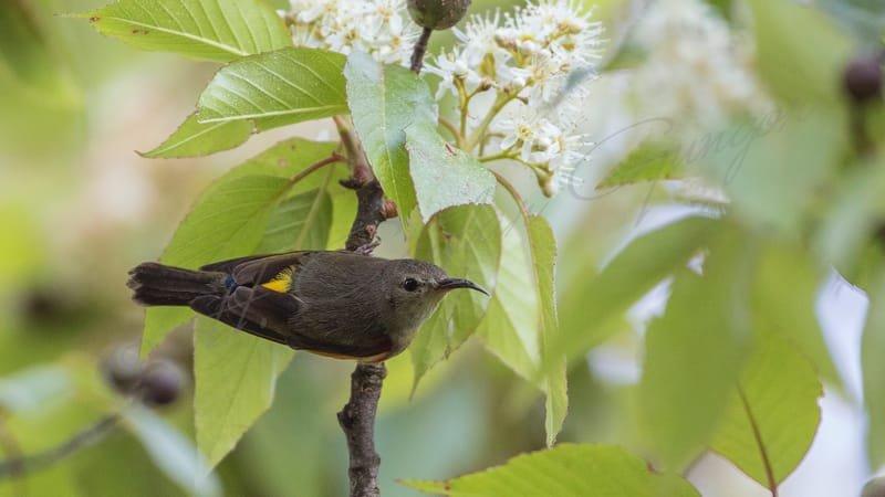Mrs Gould's sunbird - Aethopyga gouldiae