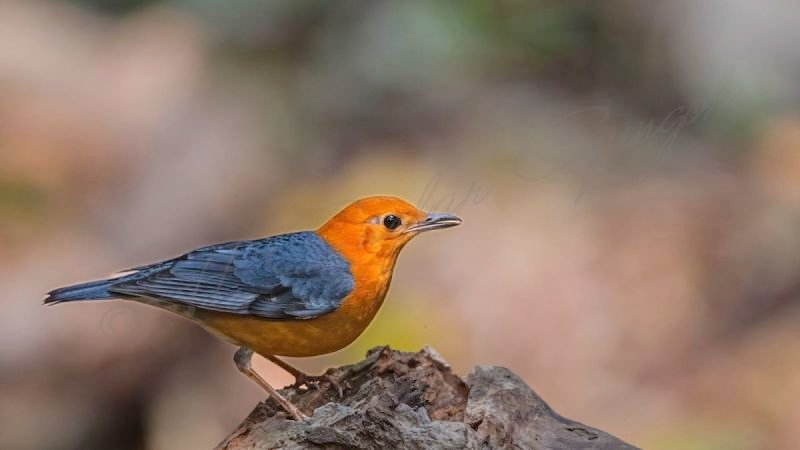 Orange-headed Thrush - Geokichla citrina