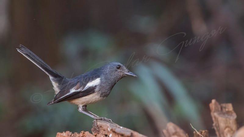 Oriental magpie robin - Copsychus saularis