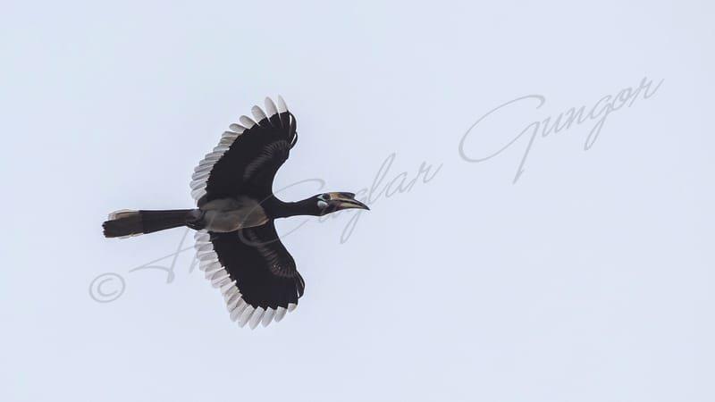 Oriental pied hornbill - Anthracoceros albirostris