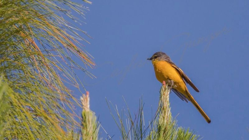 Short-billed minivet - Pericrocotus brevirostris