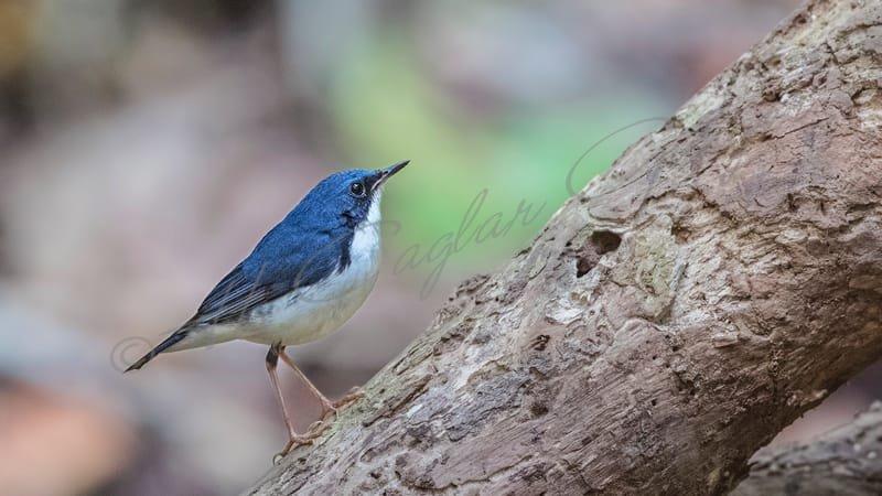 Siberian blue robin - Luscinia cyane