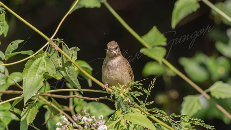 Streak-eared bulbul – Pycnonotus blanfordi