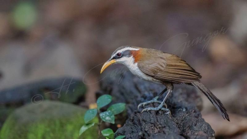 White-browed scimitar babbler - Pomatorhinus schisticeps