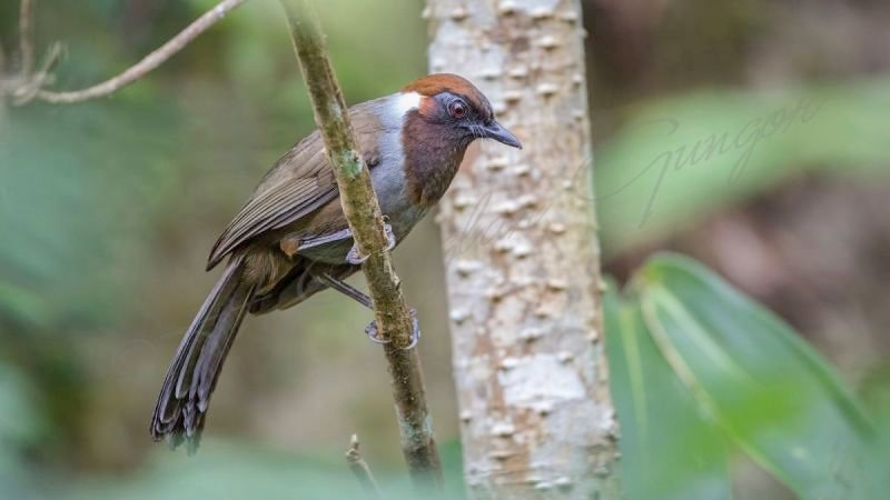 White-necked laughingthrush, Garrulax strepitans