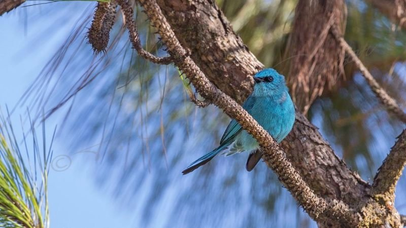 Verditer flycatcher - Eumyias thalassina