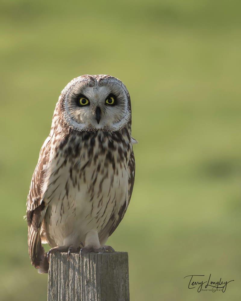 Short Eared Owl