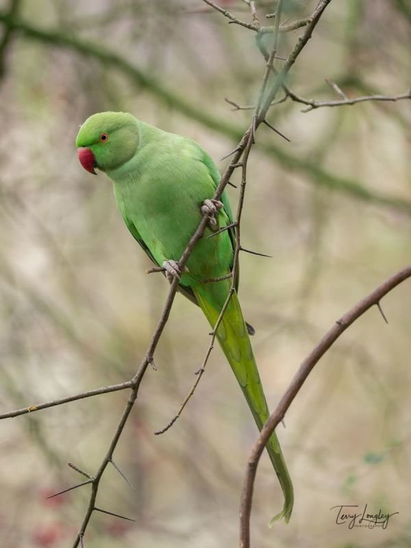 Female Rose-Ringed Parakeet