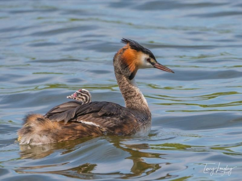 Female Great Crested Grebe - with chick