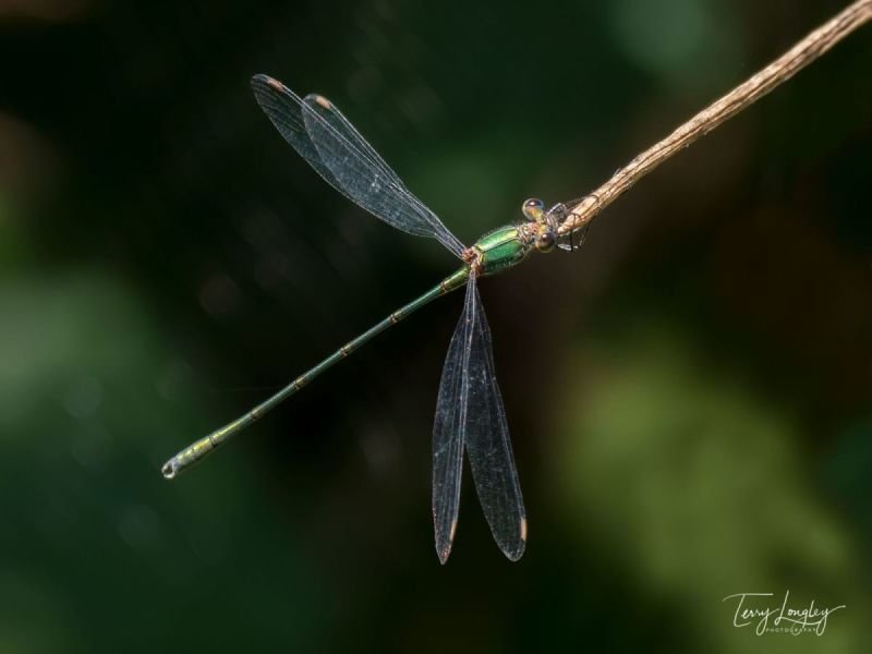 Male Willow Emerald Damselfly