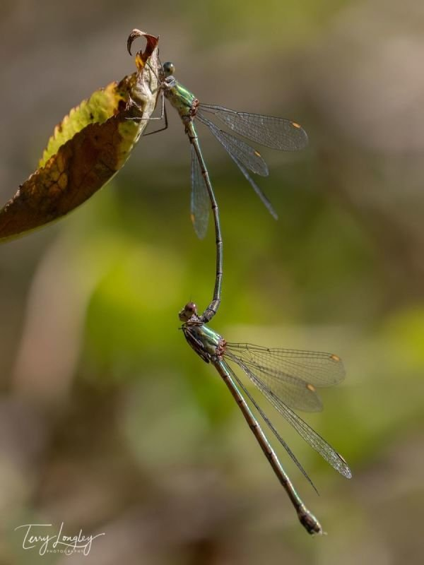 Mating Willow Emerald Damselflies