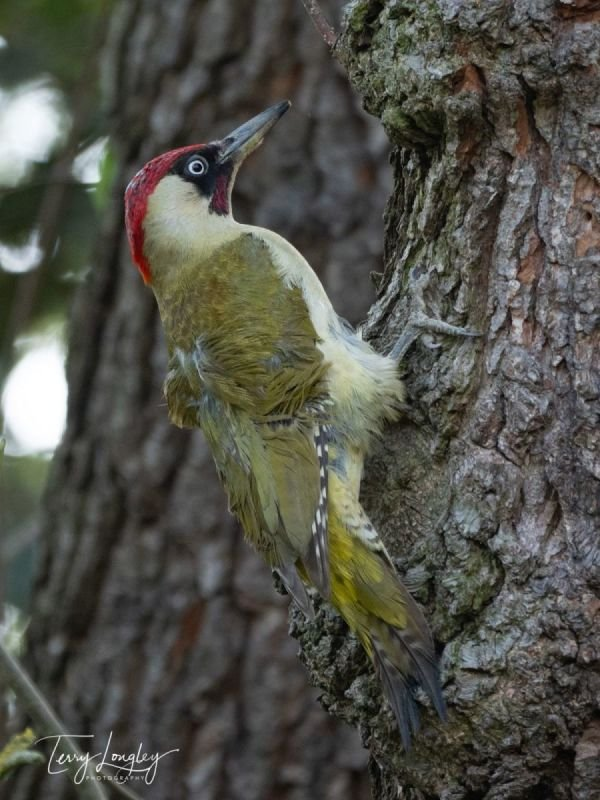 Male Green Woodpecker