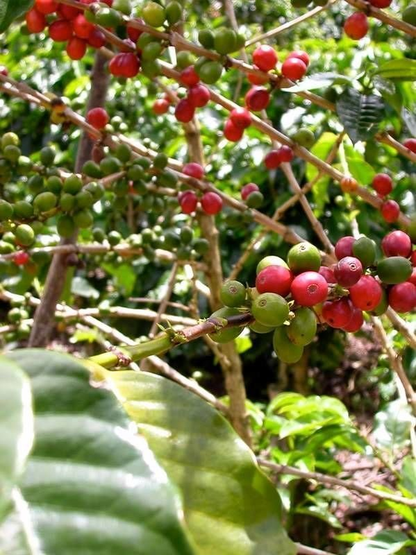 Meet the New Supreme in Antioxidants: Coffee Berries