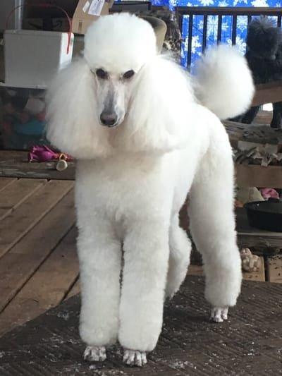 Karesque Standard Poodles