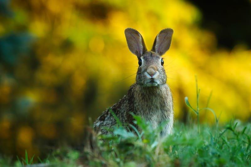 Rabbit Pelt tanning -Amy Schmidt