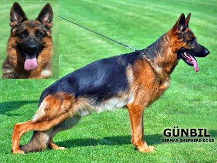 Family Protection Dogs