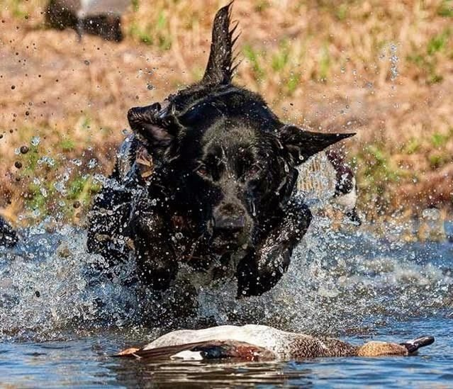 2af6aa08e0dff At Legacy Gundog Academy, we offer professional retriever and upland gundog  training, along with shed antler training. From basic obedience, to the  finished ...
