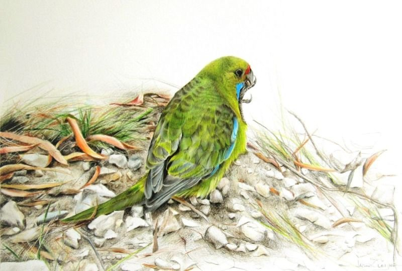 Green Rosella - Coloured Pencil SOLD
