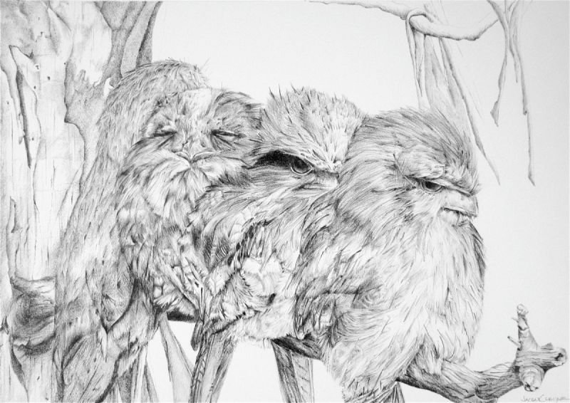 Tawny  Frogmouth Family Series - Graphite Pencil SOLD