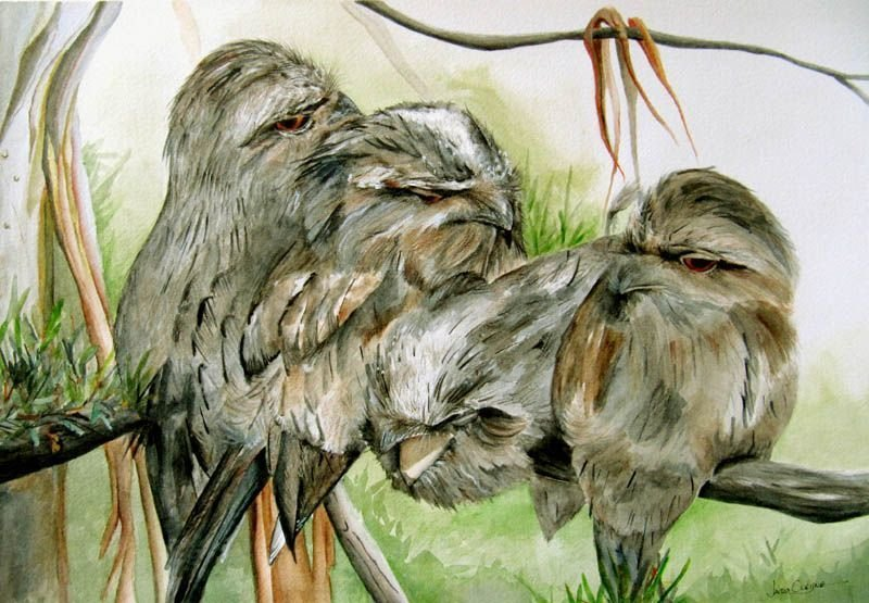 Tawny Frogmouth Series