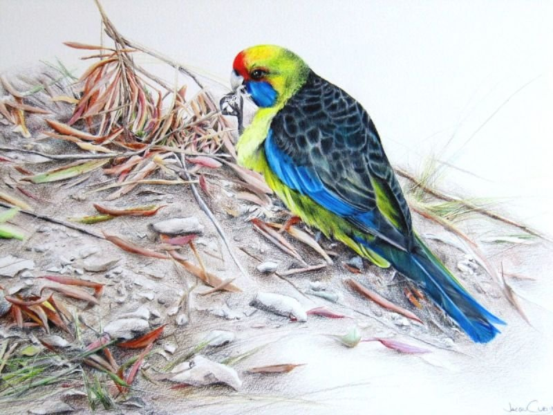 Rosella (male) - Coloured Pencil SOLD